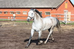 Gray horse trotting in the paddock Royalty Free Stock Photos
