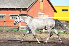 Gray horse trotting in the paddock Stock Images