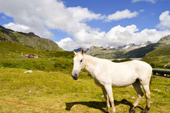 Gray Horse in the Tyrol Royalty Free Stock Photos