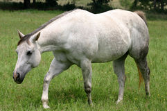Gray Horse Walking. Dapple gray horse walking in green pasture Royalty Free Stock Images