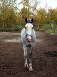 Gray horse walking in the paddock on the farm stock images