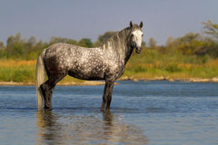 Gray horse in water Royalty Free Stock Image