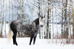 Gray horse on white snow Stock Images