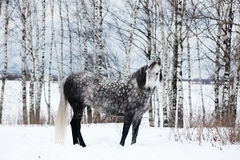Gray horse on white snow Royalty Free Stock Images