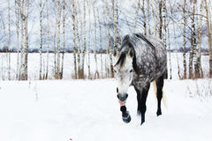 Gray horse on white snow Royalty Free Stock Photography