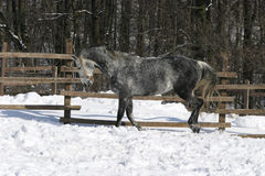 Gray horse at wintertime Royalty Free Stock Photo