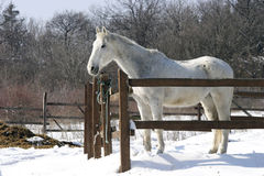 Gray horse at wintertime Royalty Free Stock Image