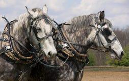 Gray Horses. A pair of gray horses ready to work Royalty Free Stock Photo