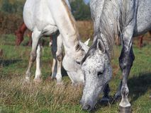 Gray horses are grazed. On an autumn meadow Royalty Free Stock Photography