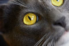 Gray house cat with bright yellow eyes stock image