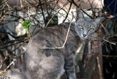 A gray house cat. A gray short fur house cat with black stripes and green eyes sitting on top of a car, looking directly at the camera stock photography