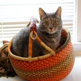 Gray house cat in an orange basket stock photo