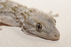 Gray house Gecko Royalty Free Stock Photography
