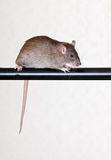 Gray house rat Royalty Free Stock Image
