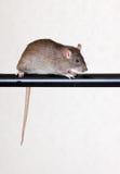Gray house rat. On a black crossbar Royalty Free Stock Image