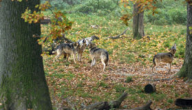 Gray howling wolfs (Canis lupus) Royalty Free Stock Photography
