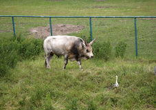 The gray Hungarian bull goes on a pasture Royalty Free Stock Image