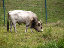 Gray Hungarian bull on a pasture Royalty Free Stock Photography