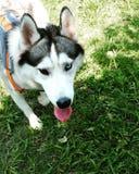 Gray Husky com heterochromia Imagens de Stock