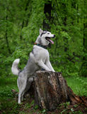 Gray husky dog breed from the old stump Stock Photography