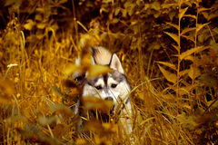 Gray the husky in the gold wood. The photo of a dog of breed a Siberian Huskies in the gold autumn wood Stock Images