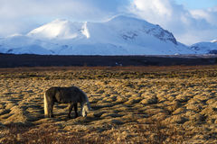 Gray Icelandic horse in front of snowy mountains Stock Photo