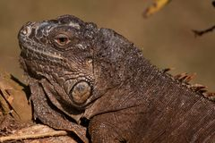 Gray iguana Stock Images