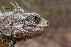 Gray Iguana Stock Photography