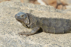 Gray Iguana with Long Talons Sitting on a Rock Royalty Free Stock Image