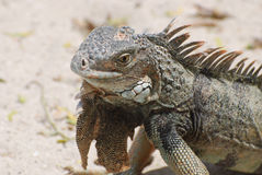 A Gray Iguana with Spines Along It`s Back Stock Photos
