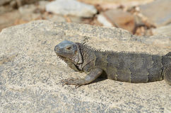 Gray Iguana Sunning and Resting on a Large Rock Stock Image