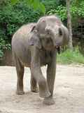 Gray indian baby elephant Stock Photography