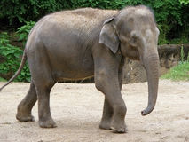 Gray indian baby elephant Stock Photos