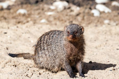 Gray indian mongoose Royalty Free Stock Images