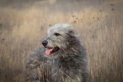 Gray Irish Wolfhound em uma caminhada no campo do outono fotos de stock