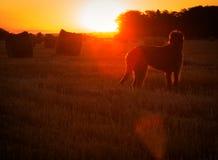 Gray Irish wolfhound looks at the rising sun Royalty Free Stock Image