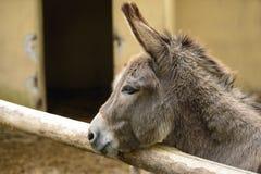 Gray Italian Sardinian Donkey Stock Photo