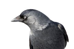 Gray jackdaw Royalty Free Stock Images