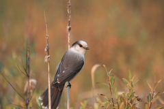 Gray jay. A gray jay perched on a cat tail Royalty Free Stock Photo