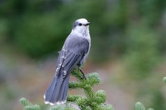 A gray jay. Sitting on the top of a tree Stock Photography