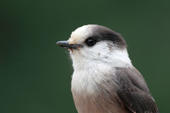 Gray Jay Royalty Free Stock Photography