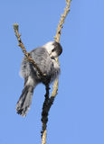 Gray Jay Royalty Free Stock Image