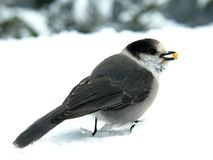 Gray Jay. Also known as the Canada Jay or Whiskey Jack Stock Image