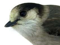 Gray Jay. Also known as the Canada Jay or Whiskey Jack stock photography