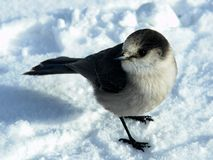 Gray Jay. Also known as the Canada Jay or Whiskey Jack royalty free stock photo