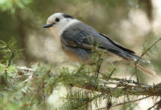 Gray Jay. An inquisitive Gray Jay in Washington State Royalty Free Stock Photos
