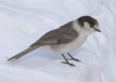 Gray Jay royalty free stock photo