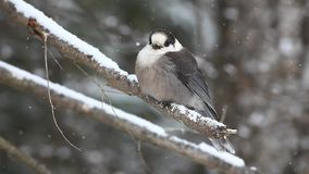A Gray Jay as snow falls in Algonquin in Ontario stock video footage