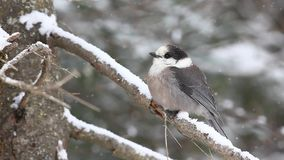A Gray Jay as snow falls in Algonquin in Ontario stock footage