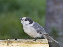 Gray Jay Bird Begging For Food Stock Image